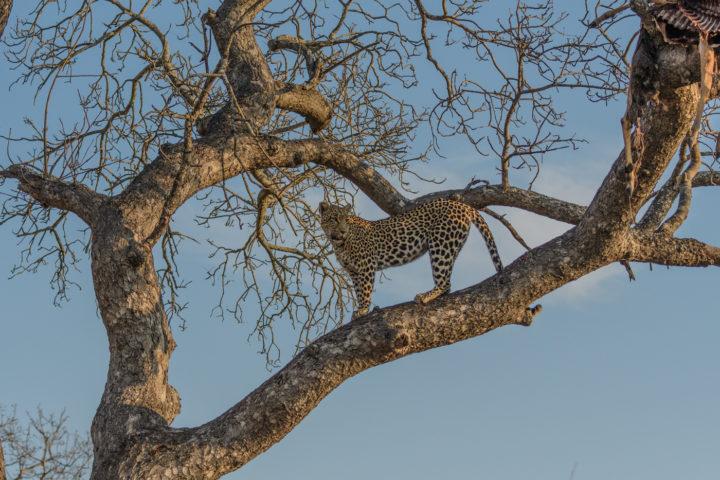 Tatowa, leopard, Londolozi