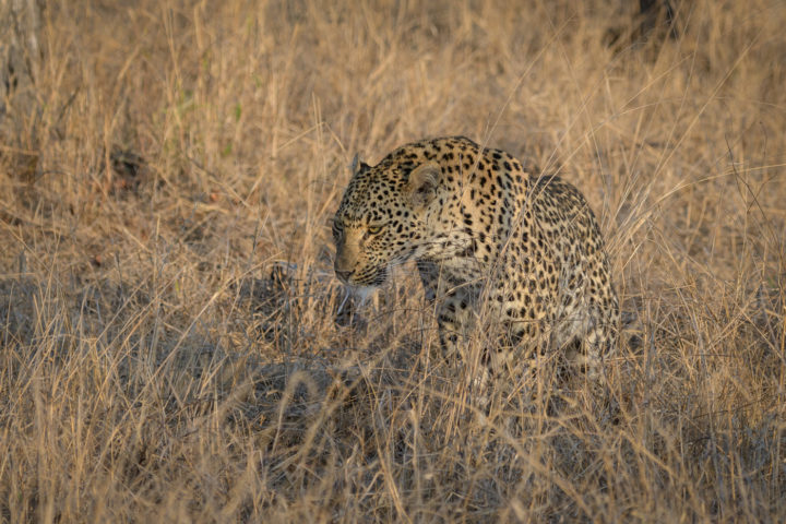 mashaba young female, leopard, scent marking