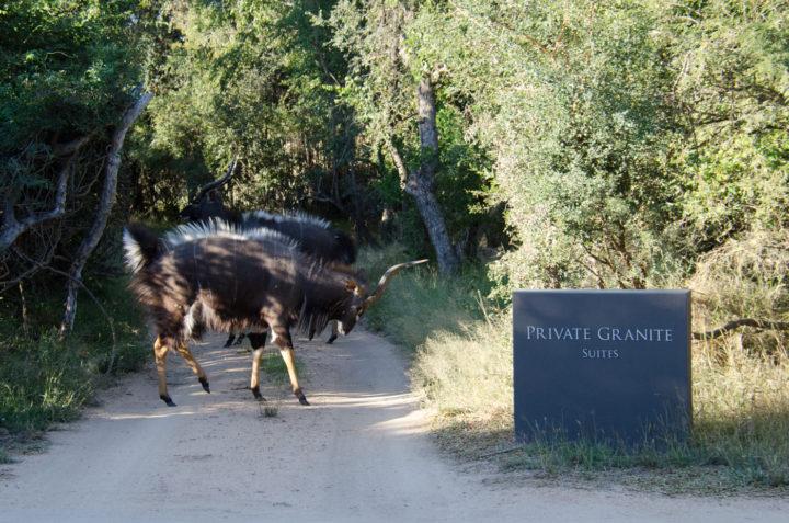 nyala bulls, lateral display, granite camp