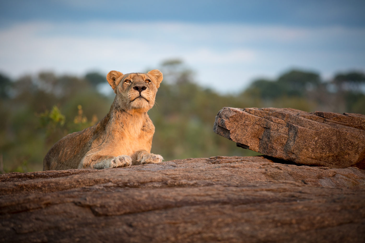A lioness sits on a boulder in the sunlight at Londolozi