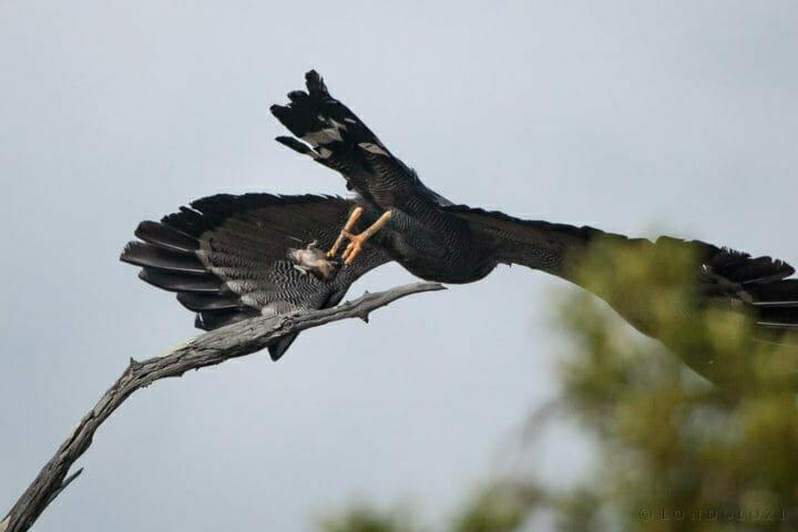 prey, talons, take-off, harrier hawk PT 2018