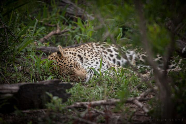 Leopard, nhlanguleni female, thicket, PT 2017