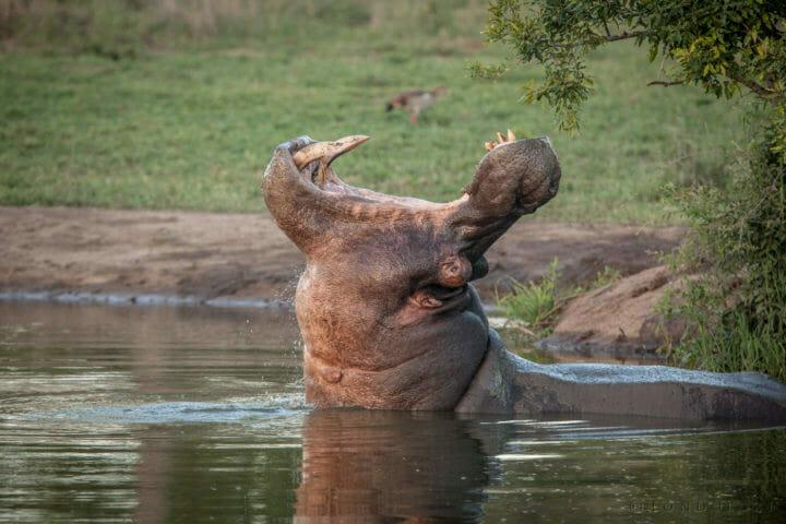 Hippo, yawn, tusks, PT, 2018