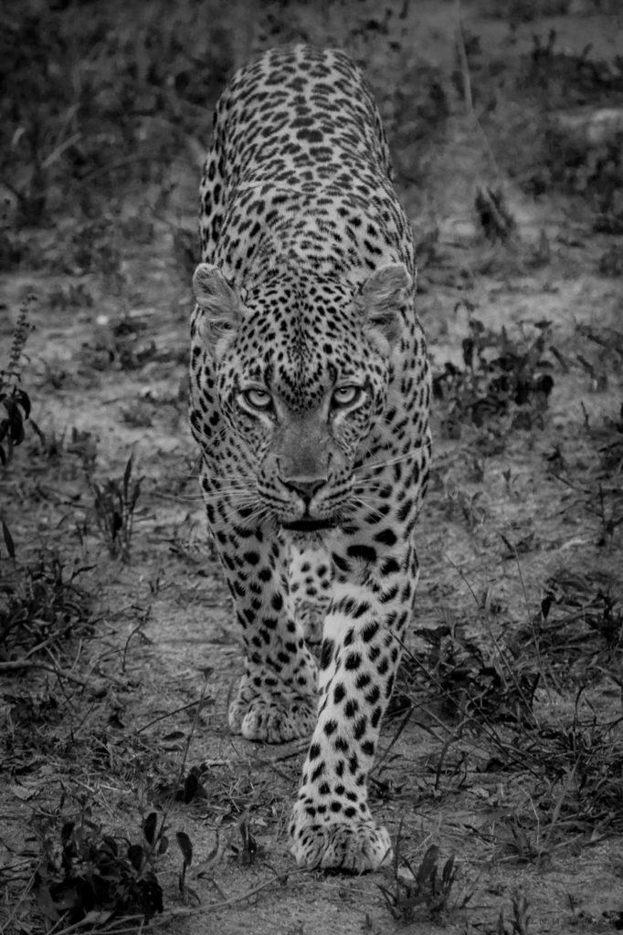 Tamboti female, leopard, eyes, stare, PT 2018