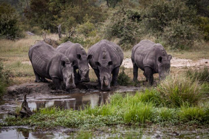 Rhino, drinking, waterhole, PT, 2018