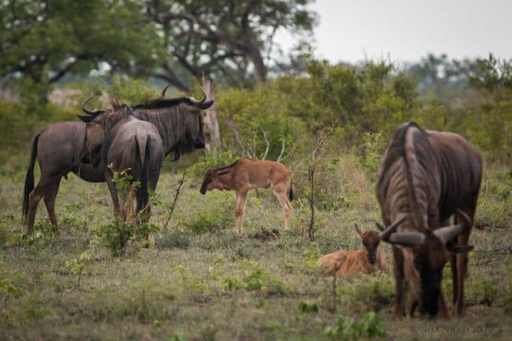 Wildebeest, calf, PT 2018