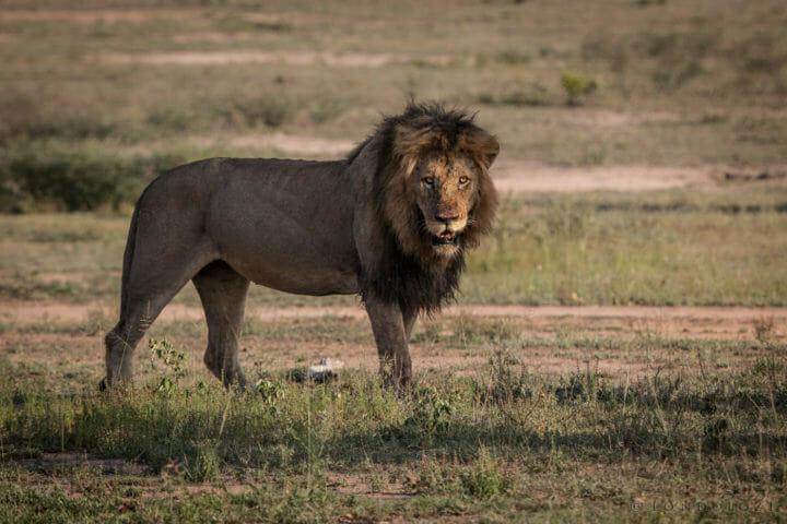 Male lion, birmingham, PT 2018