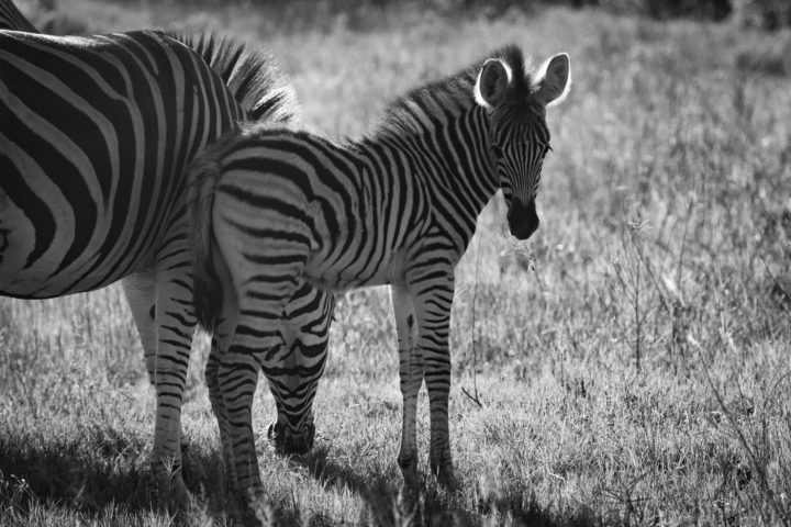 Zebra, foal, black and white, PT, 2017