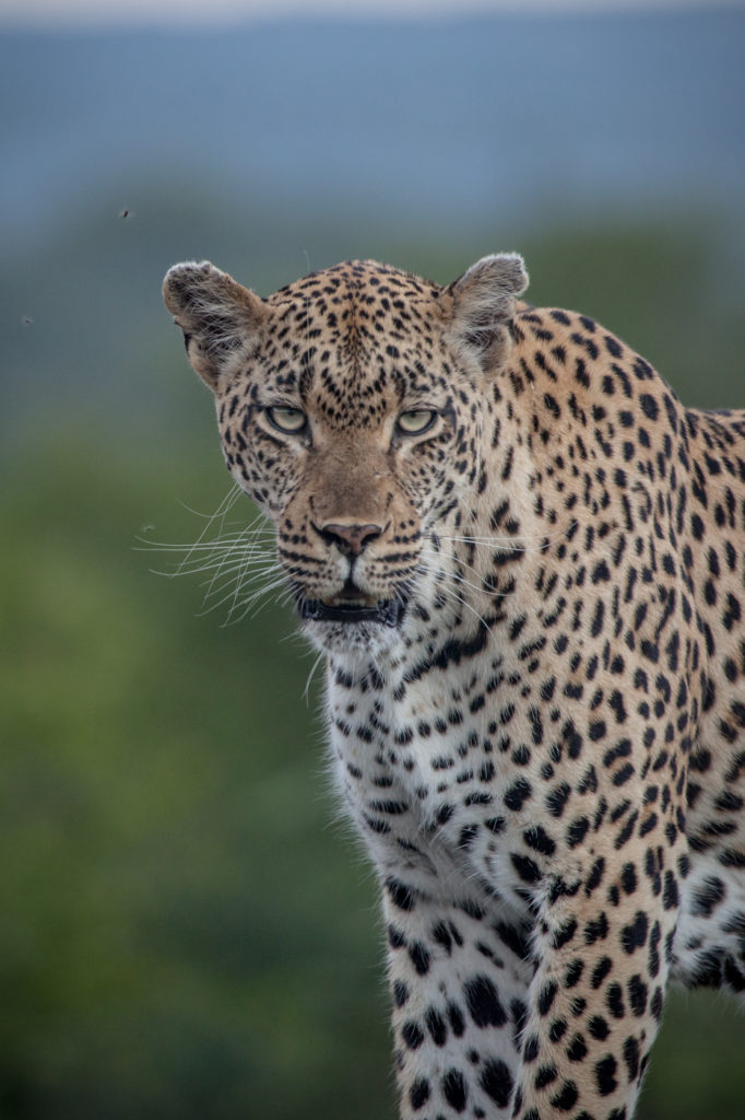 Tamboti female leopard, eyes, view, portrait, PT, 2018