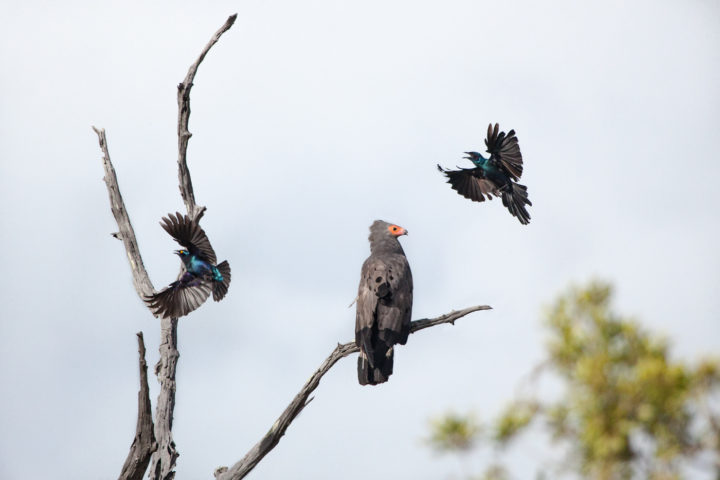 Starlings, african harrier-hawk, mobbing, PT 2018