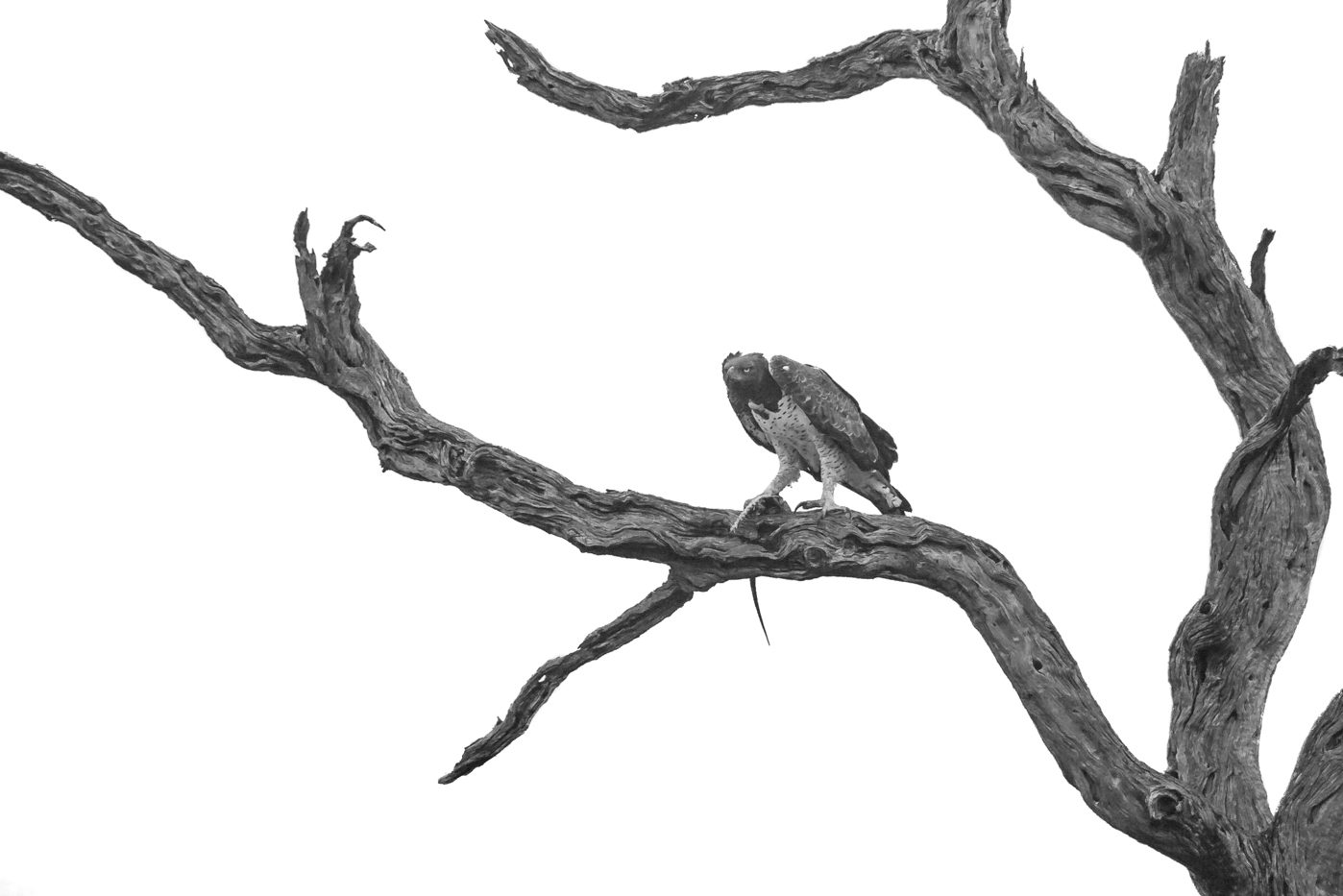 A Martial eagle sits in a leadwood tree after killing a monitor lizard in black and white by Peter Thorpe, 2018