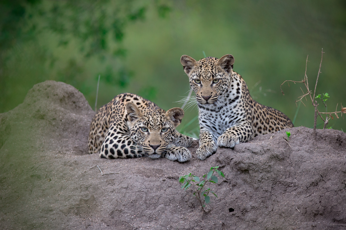 WATCH – Stolen leopard siblings rehabilitated and released