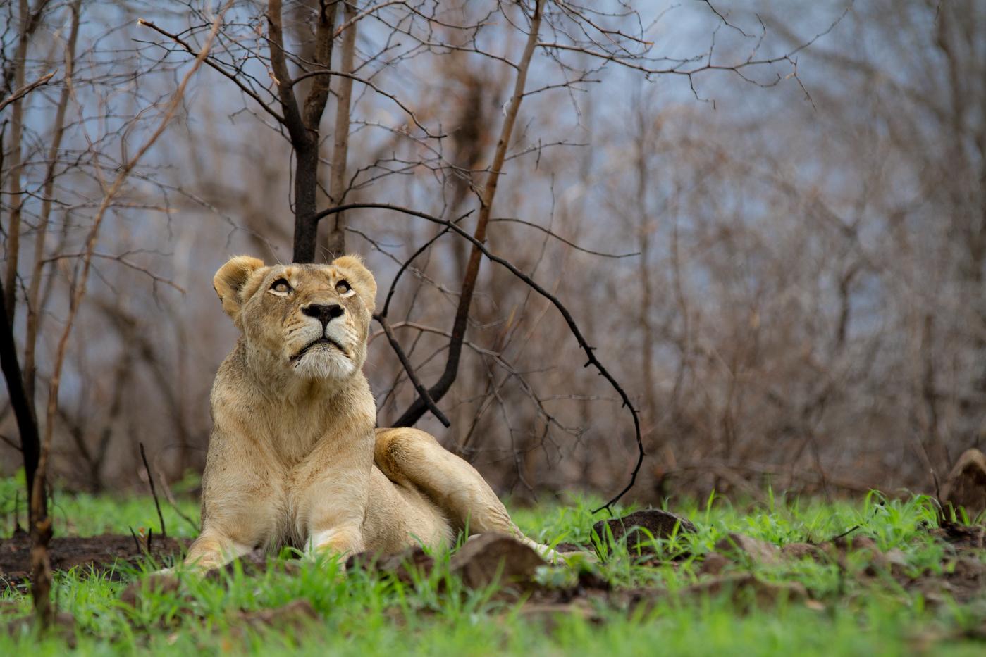the ending of an era tsalala lioness dying londolozi blog