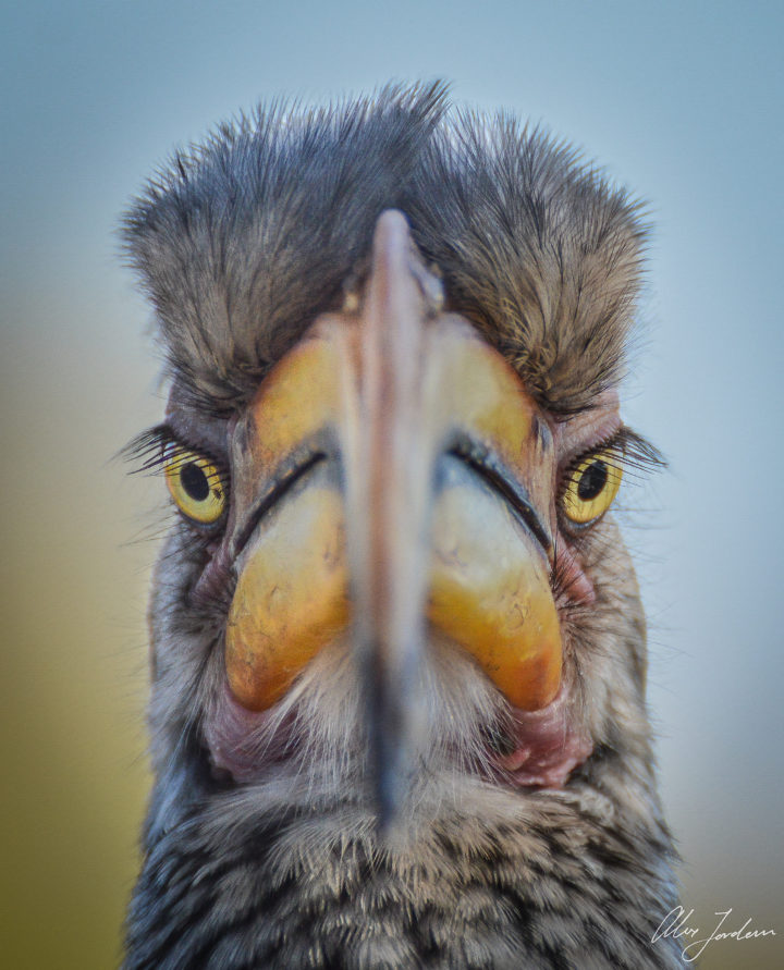 A closeup, symmetrical view of a southern yellow-billed hornbill at Londoloz