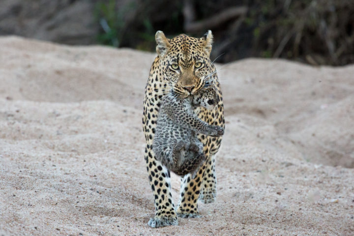 Jacqui Marais, Tamboti Female Leopard carrying cub