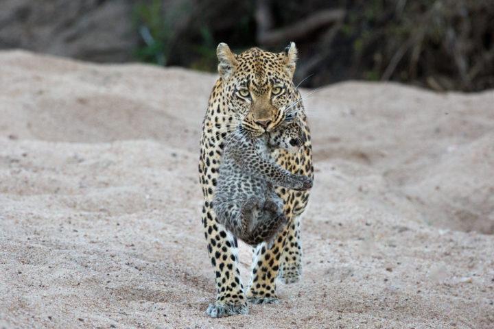 Jacqui Marais, Tamboti Female Leopard carrying cub