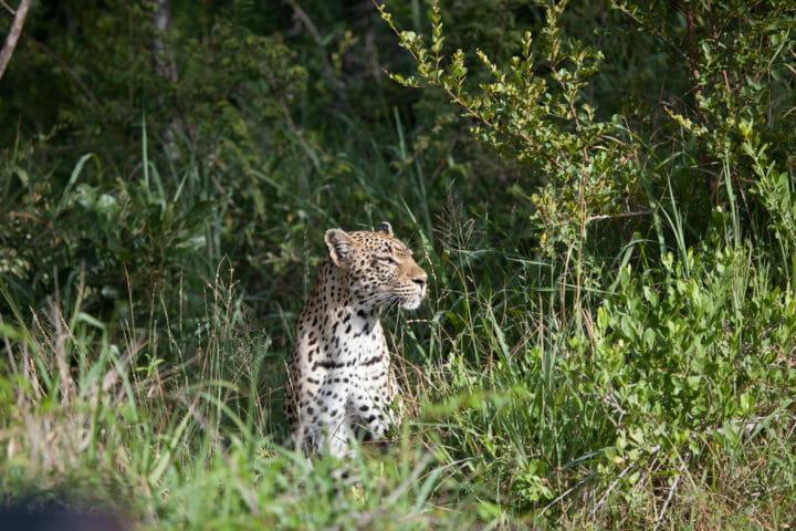 tamboti female leopard, PT 2018