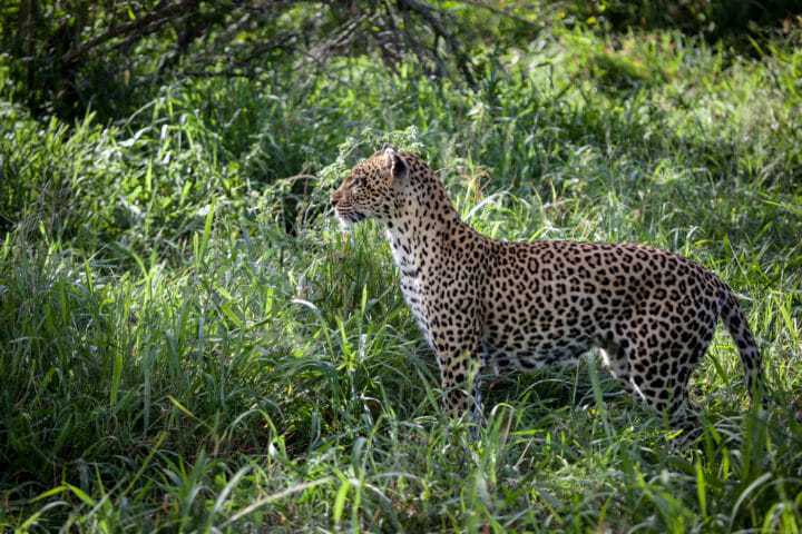 leopard, hunt, tamboti female, PT 2018