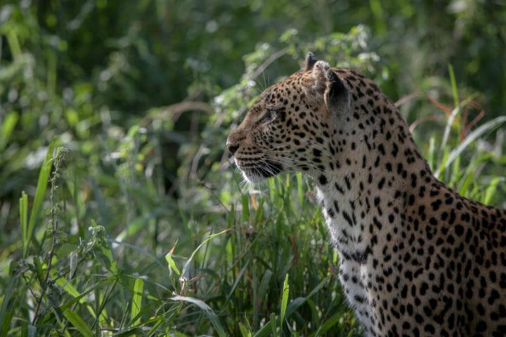 leopard, stare, hunt, tamboti female, PT 2018
