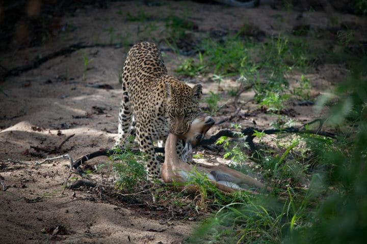 Tamboti female, leopard, kill, choke, impala lamb, maxabene, 2018 PT
