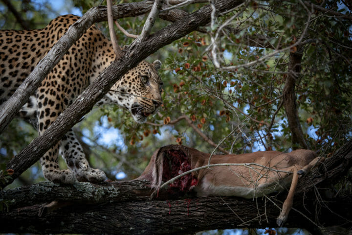 Tamboti female leopard tree impala kill PT 2018