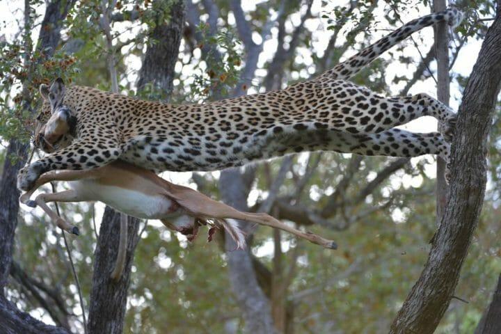 Leopard, impala kill, tamboti female, jumping, Jim Catlett 2018