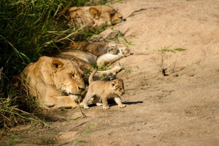 Tailed Tsalala Lioness Jt 3