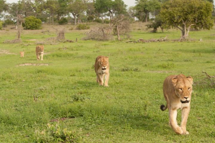Tailed Tsalala Lioness Jt