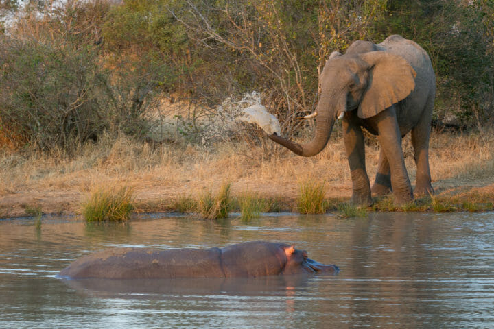 Hippo Elephant Jt
