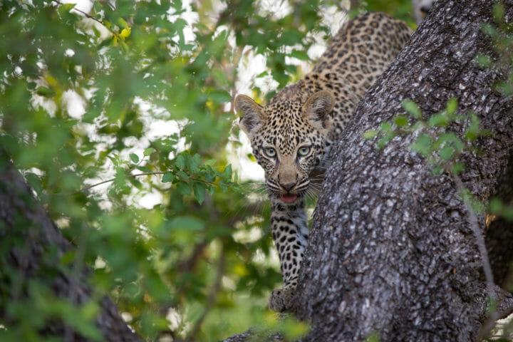 Tamboti Leopard Cub Jt