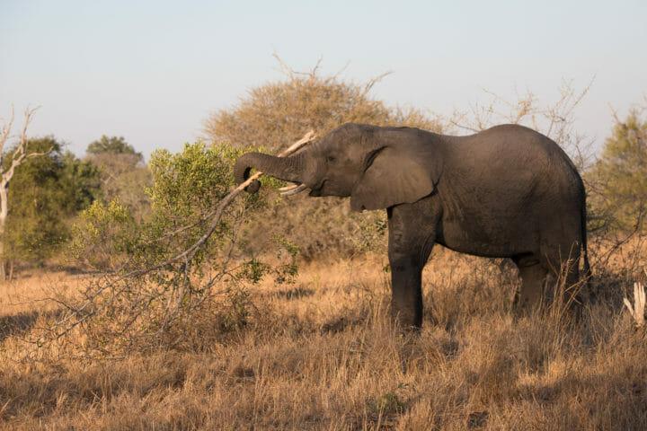 Elephant Lift Branch Trunk Jt