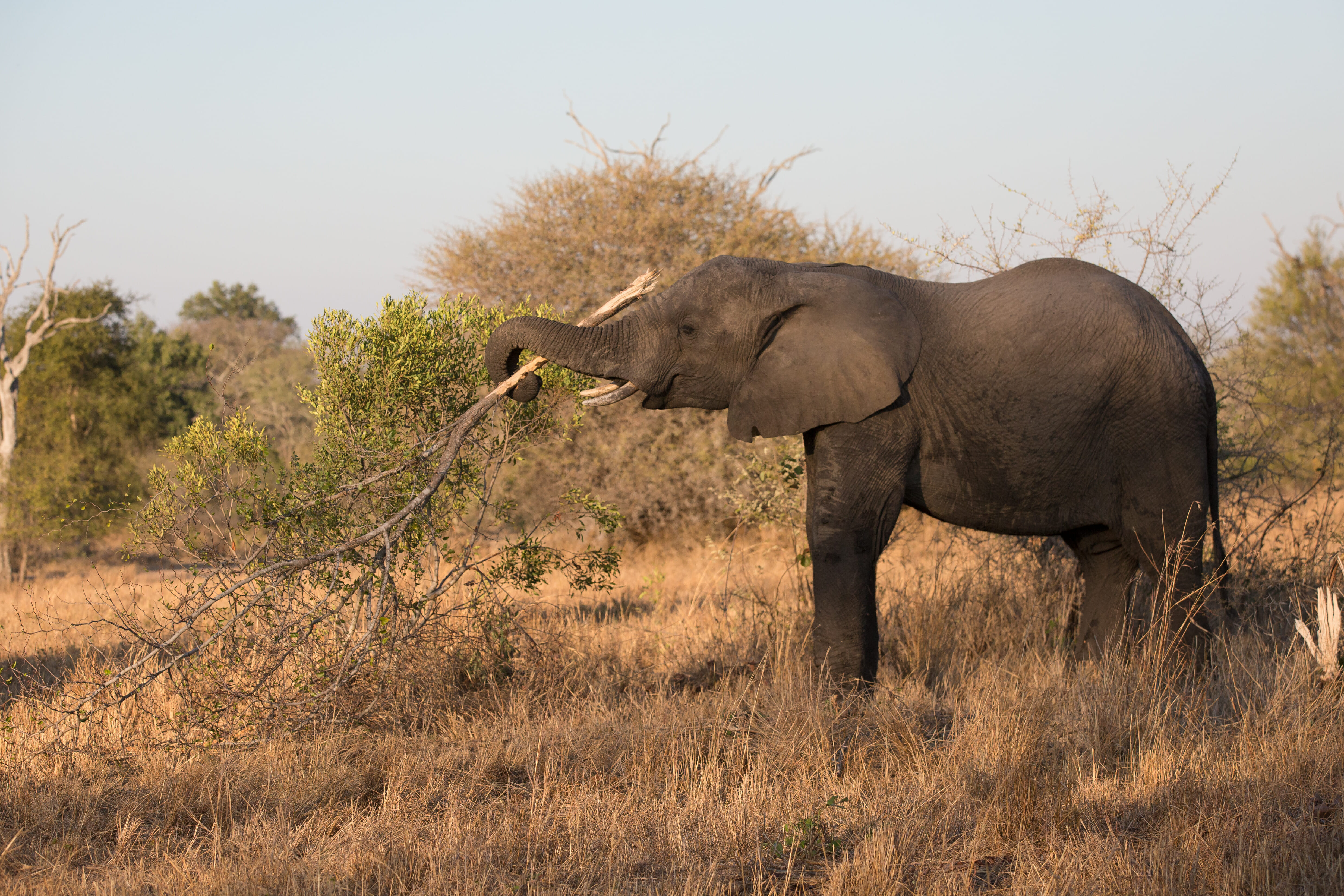 5 things you need to know about an elephant 39 s trunk londolozi blog - Image elephant ...