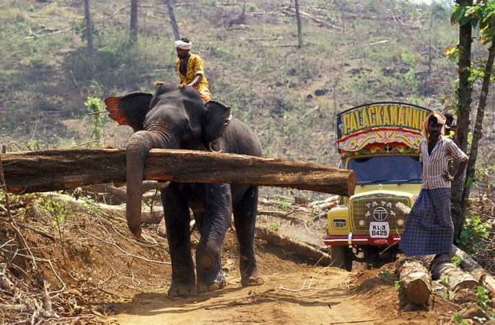 An Elephant Carries Felled Teak Logs To Stacking Piles For Pickup. Near The Village Of Cochin In Kerala, India, Asian Elephants Are Used To Log Teak From A Commercial Plantation. The Domestication And Use Of Elephants In India Is A Tradition Over 4,000 Yea