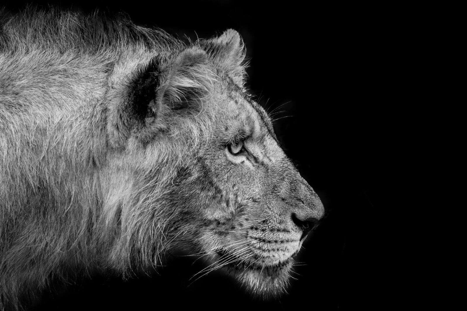 A sub adult male lion still fine tuning the art of hunting locks eyes on his target ahead instinct combined with years of nurture a black and white