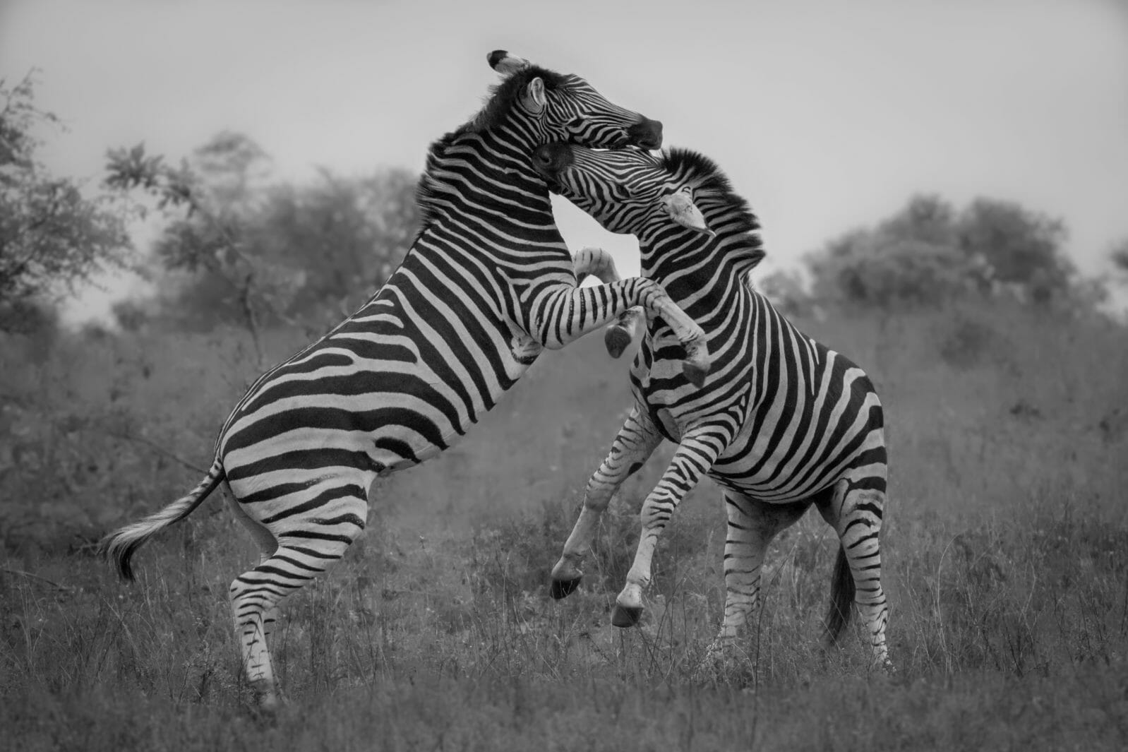 Two zebra stallions engage in a ruthless battle with bites from sharp canines and powerful kicks black and white creates a pop of their stripes and removes
