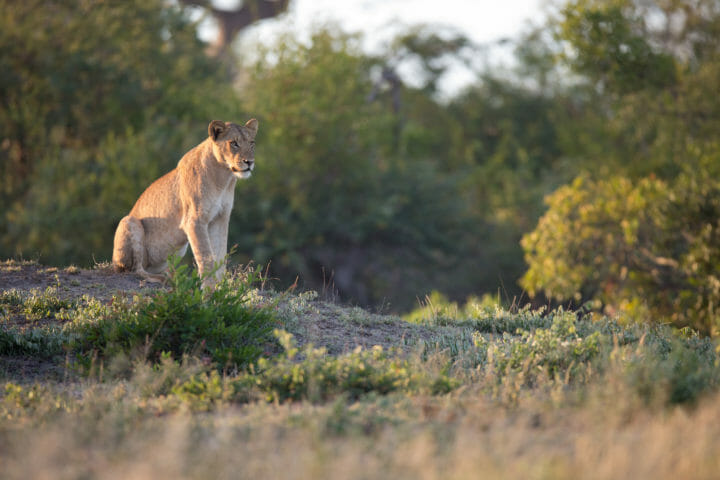 Mhangeni Subs Lion Jt 2