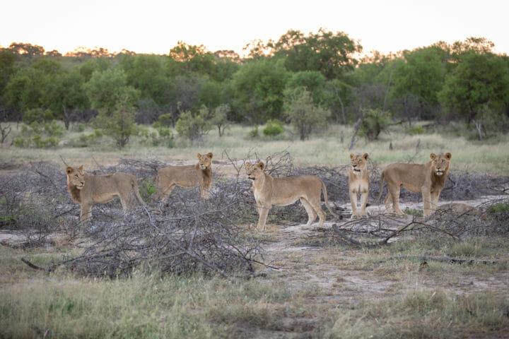 Mhangeni Subs Lion Jt
