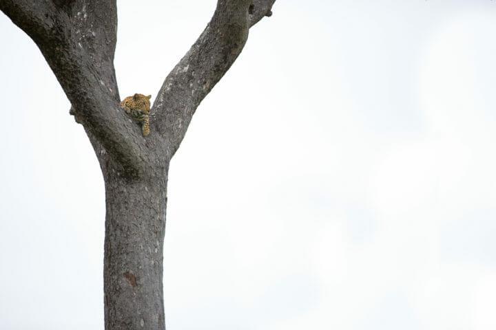 Mashaba Young Female Leopard Marula Jt