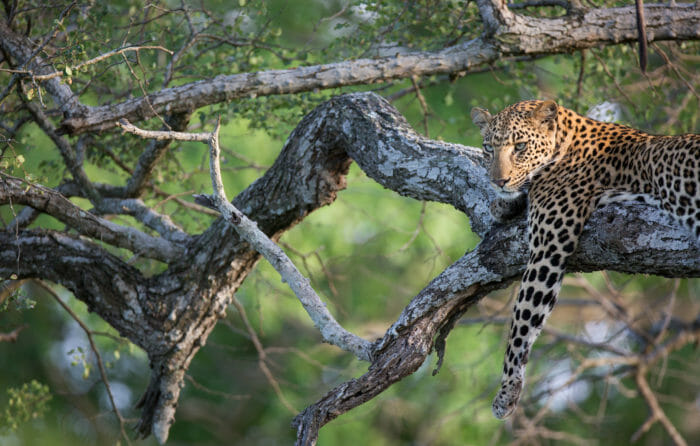 Mashaba Young Female Leopard Knobthorn Jt