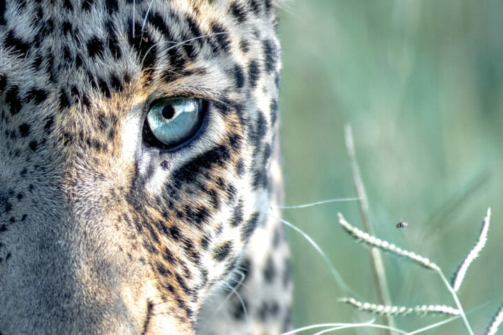 Leopard Eye Twipmarch 01 2018