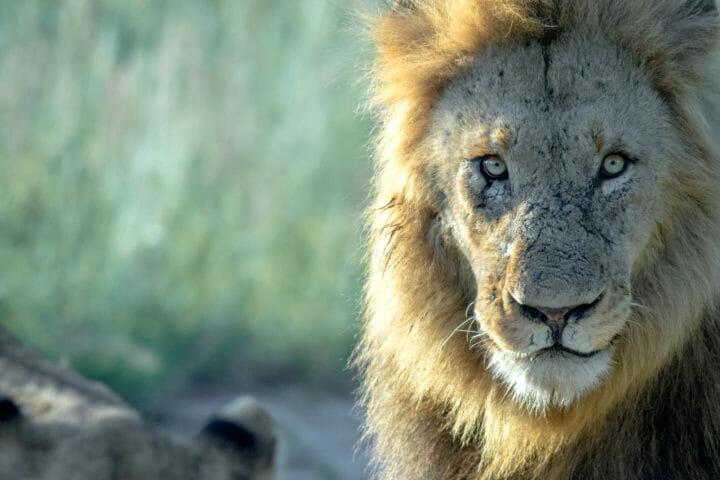 Lion Male Twipfebruary 28 2018