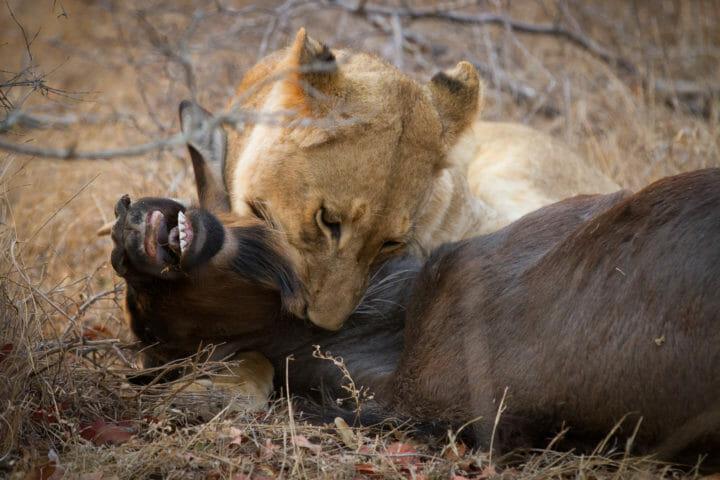 Tsalala Lioness Kill Wildebeest Jt