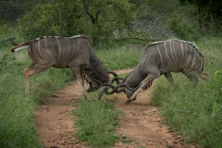 Kudu Bulls Fighting Grant Rodewijk