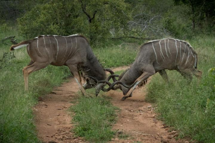 Kudu Bulls Fighting Grant Rodewijk