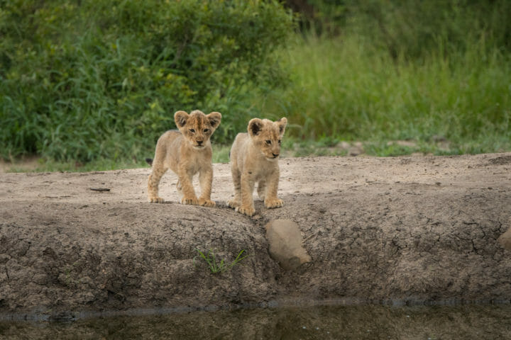 Ntsevo And Cubs 2018 Grant Rodewijk 1 Of 5