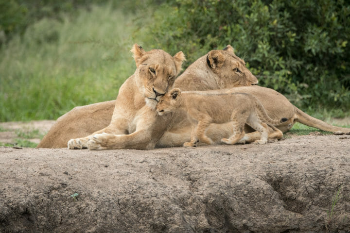 Ntsevo And Cubs 2018 Grant Rodewijk 2 Of 5