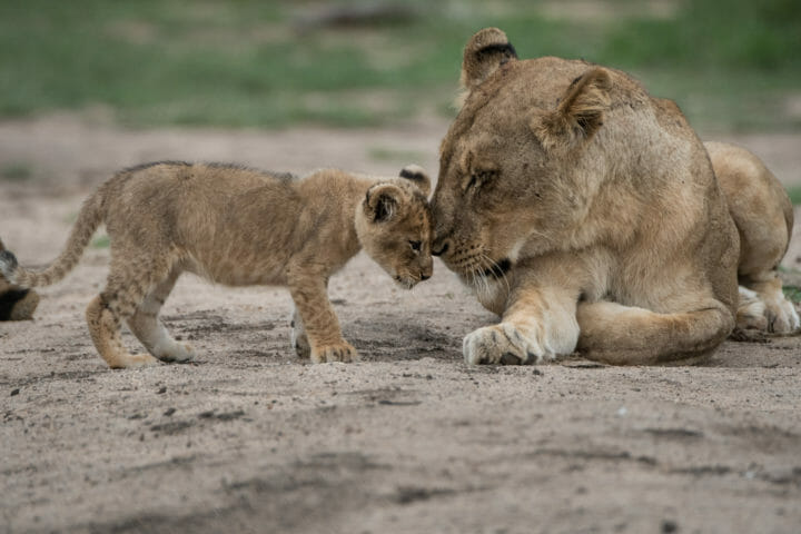 Ntsevo And Cubs 2018 Grant Rodewijk 4 Of 5