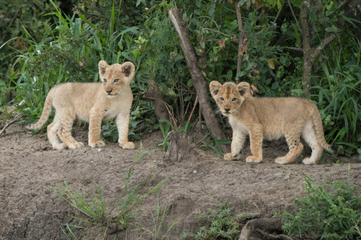 Ntsevo And Cubs 2018 Grant Rodewijk 5 Of 5