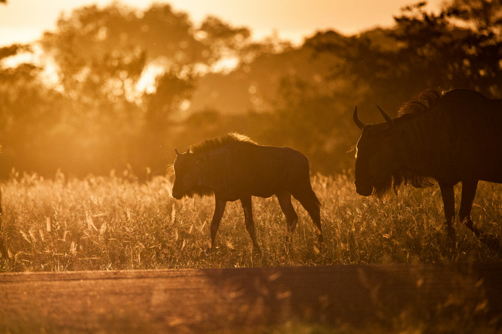 Backlit Wildebeest. Two wildebeest silhouettes against the sunset at Londolozi.