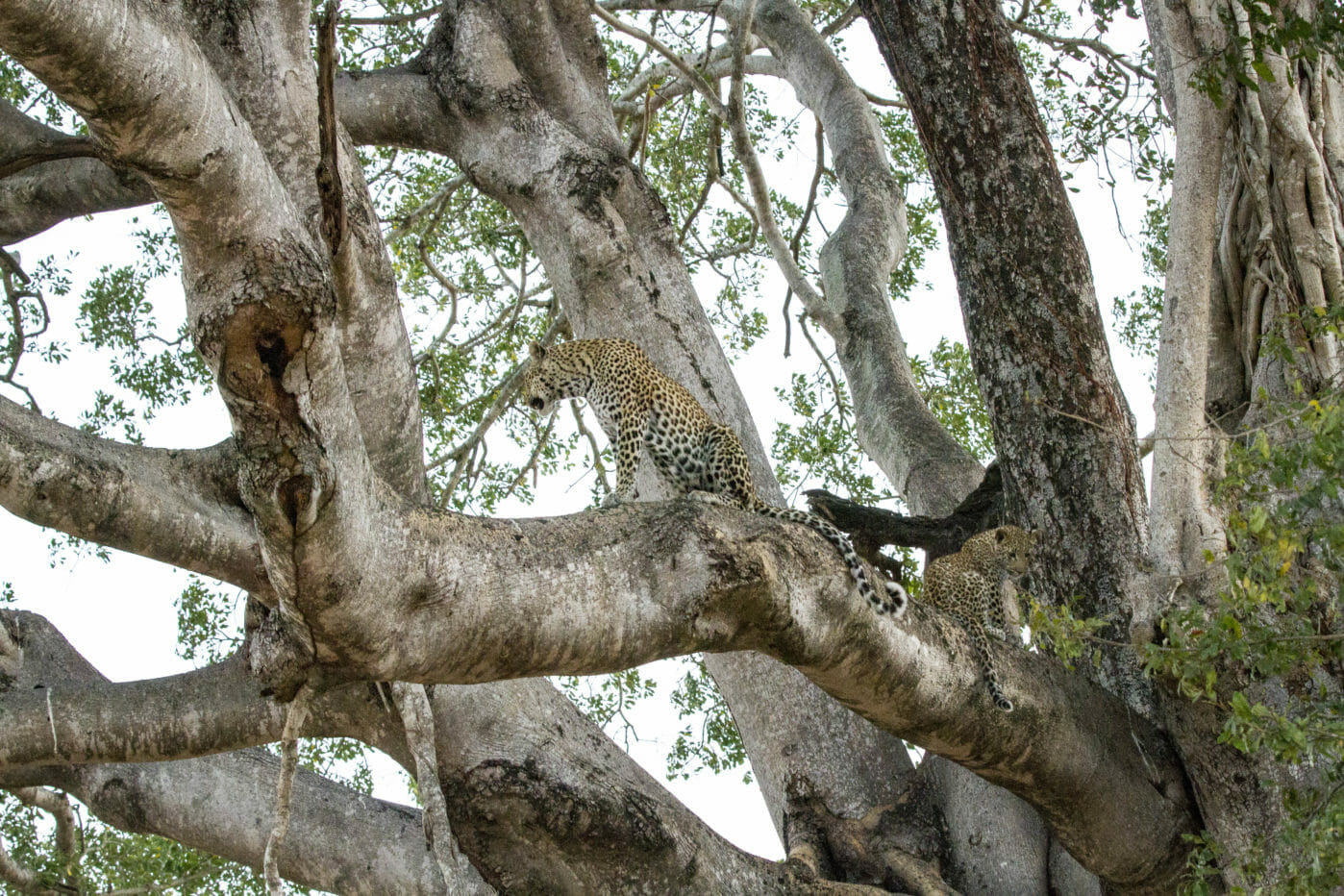 Little Bush Leopard Cub Sycamore Fig Jt